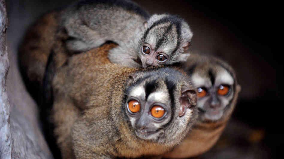 Aotus lemurinus, Foto: poggoblin.com