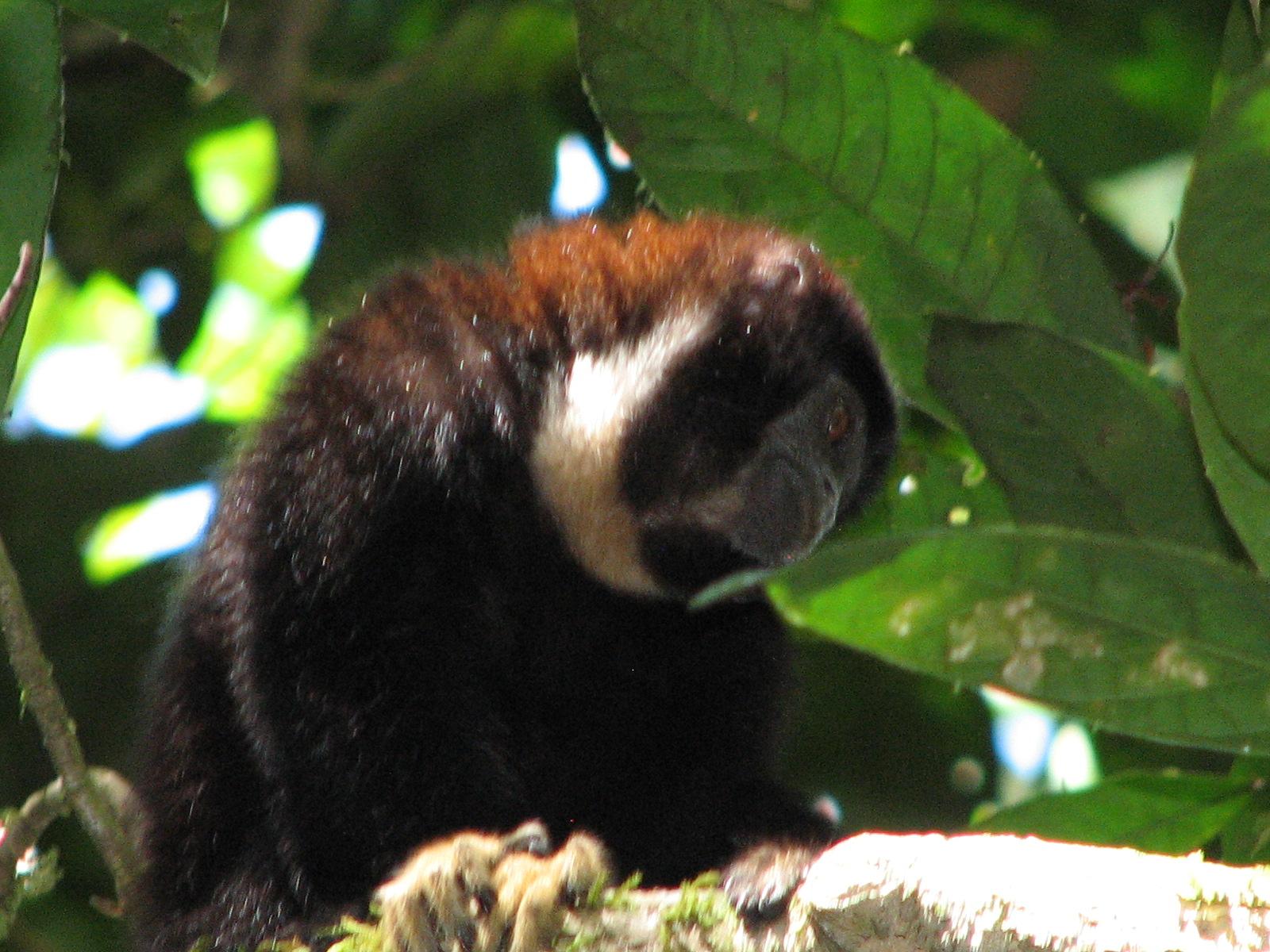 Callicebus torquatus, Foto: thomasdefler.com