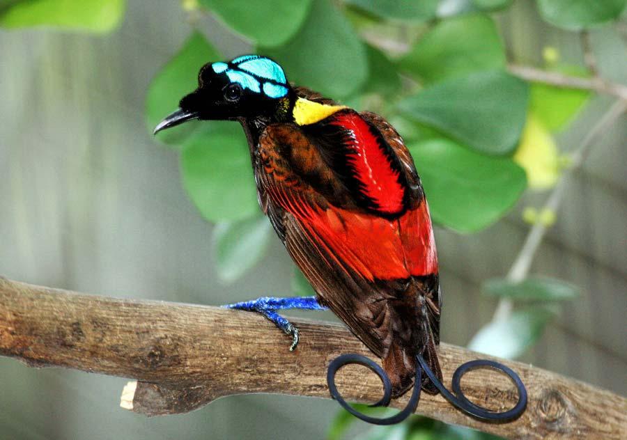 Cicinnurus respublica, Foto: iselinsmuget.wordpress.com