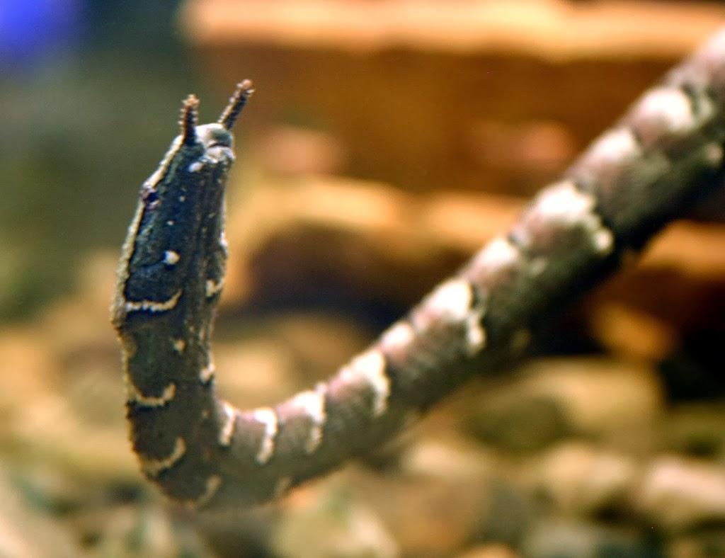 Erpeton tentaculatus, Foto: insolitanaturaleza.blogspot.com