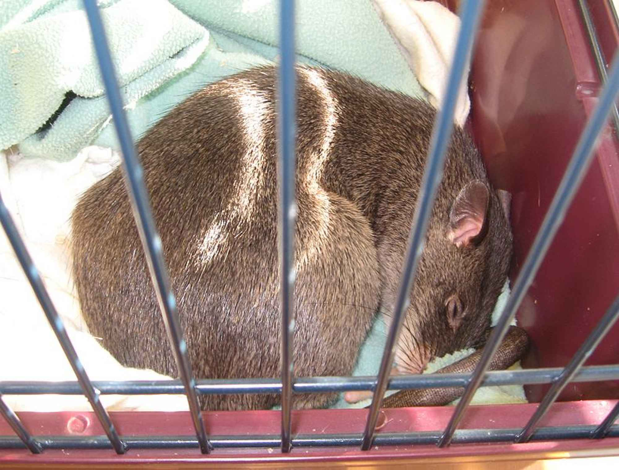 Cricetomys gambianus, Foto: popsci.com