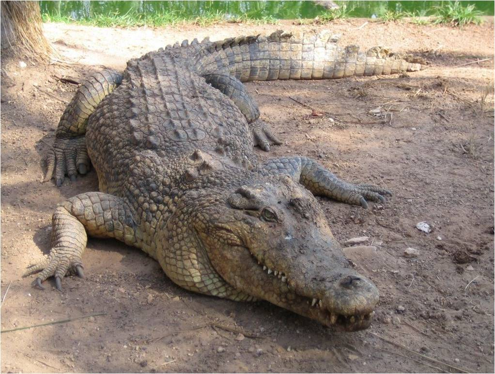 Crocodil, Foto: cleisonlaurentino.blogspot.com