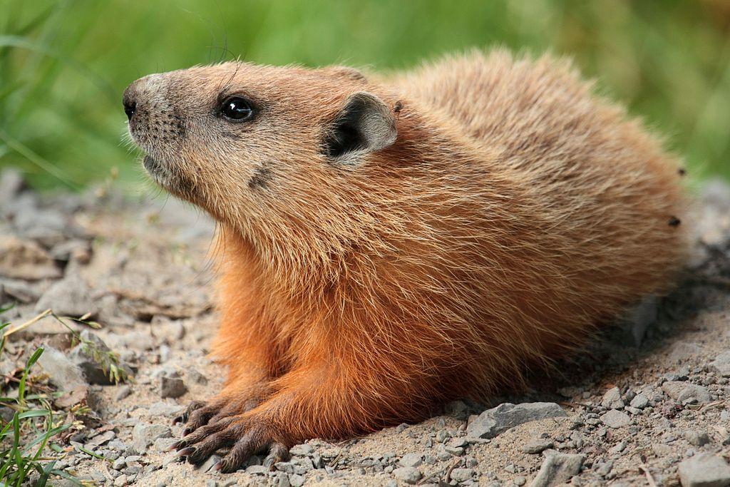 Marmota monax, Foto: ipsisdata.wordpress.com
