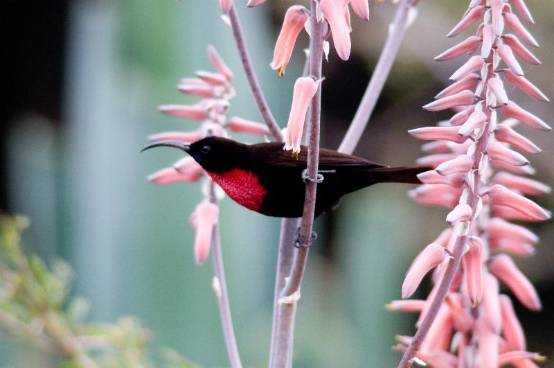 Nectarinia senegalensis, Foto: fotonatura.org