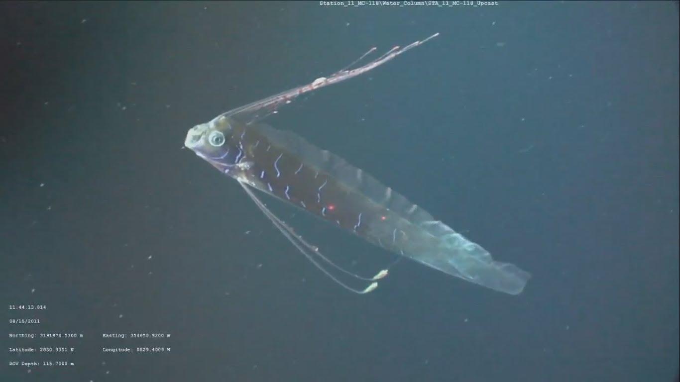 Regalecus glesne, Foto: liveleak.com