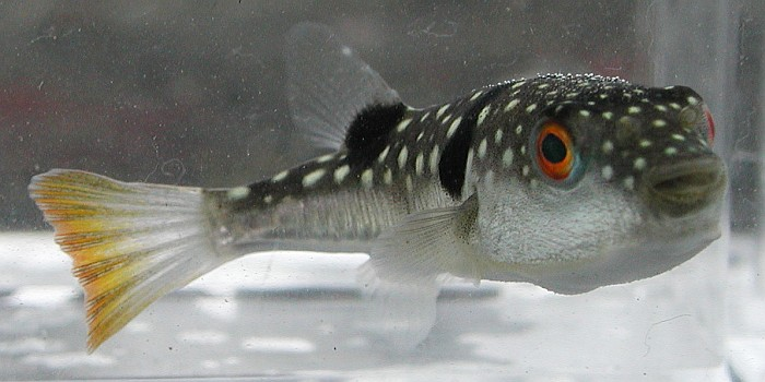 Takifugu niphobles, Foto: kobis.re.kr