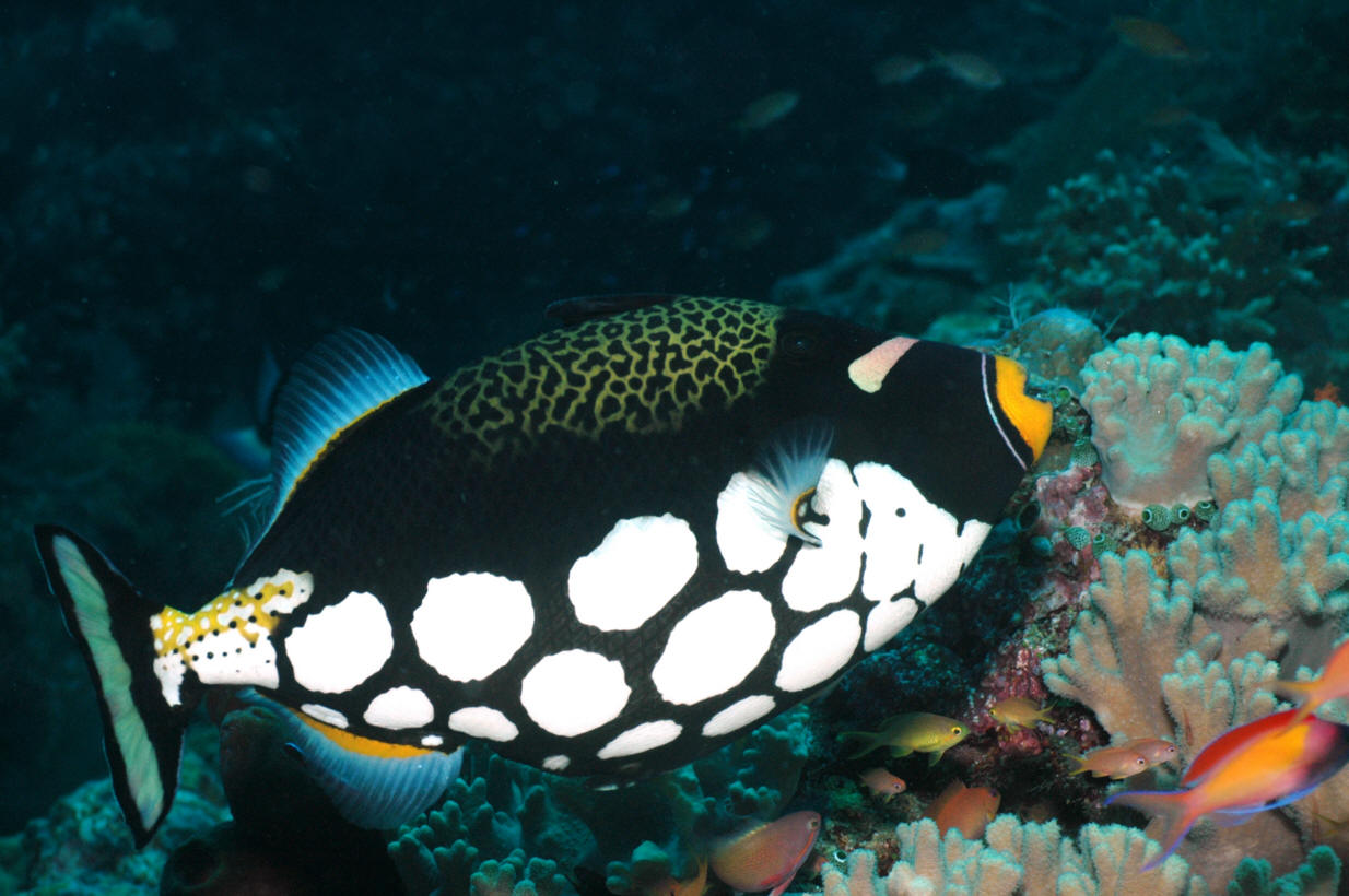 Balistoides conspicillum, Foto: wetwebmedia.com