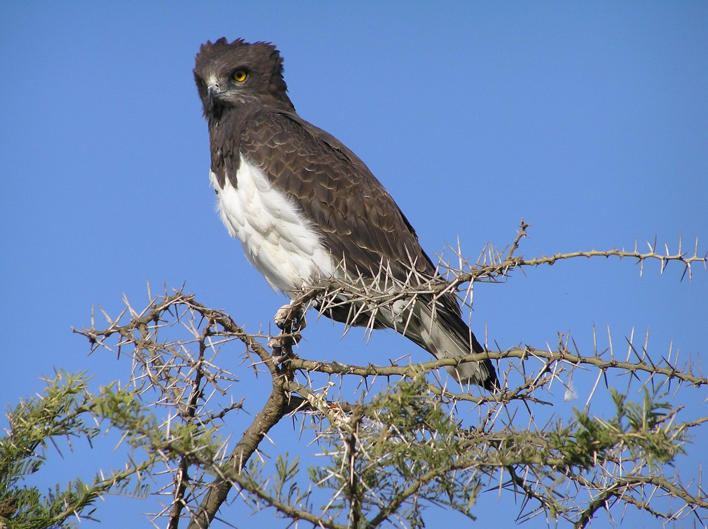 Circaetus pectoralis, Foto: oikosjournal.wordpress.com
