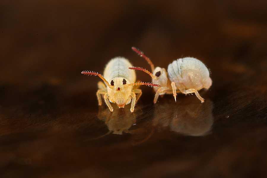 Colembole globulare, Foto: reocities.com
