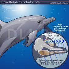 Delfinii si ecolocatia