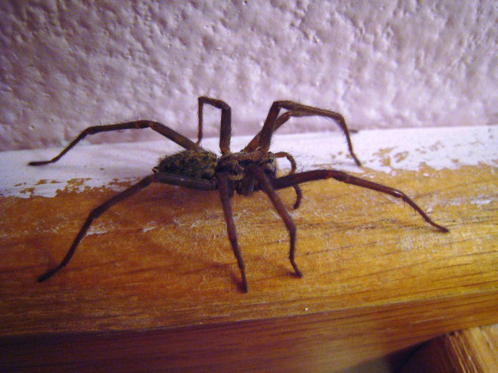 Păianjeni de casă, Foto: televicentro.hn