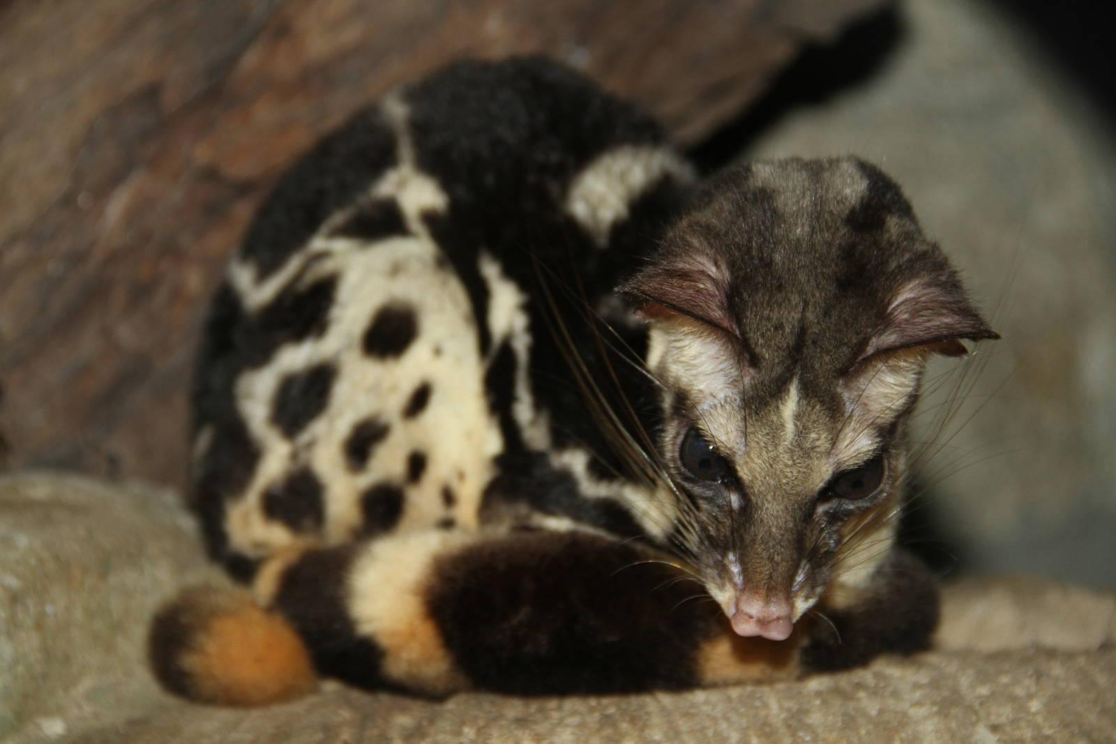 Prionodon pardicolor, Foto: zoochat.com