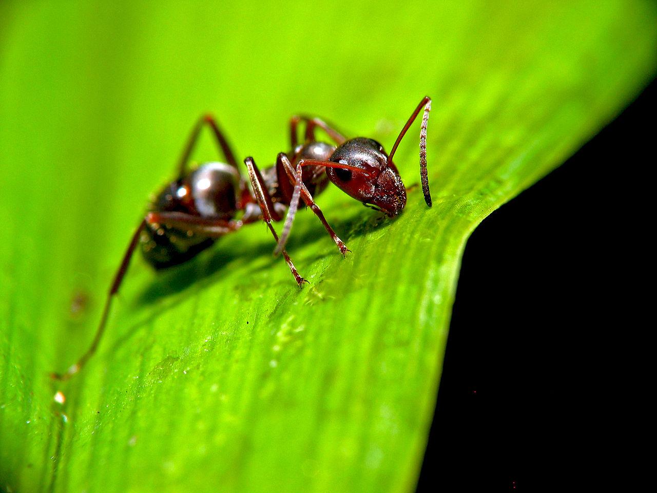 furnici paraziți