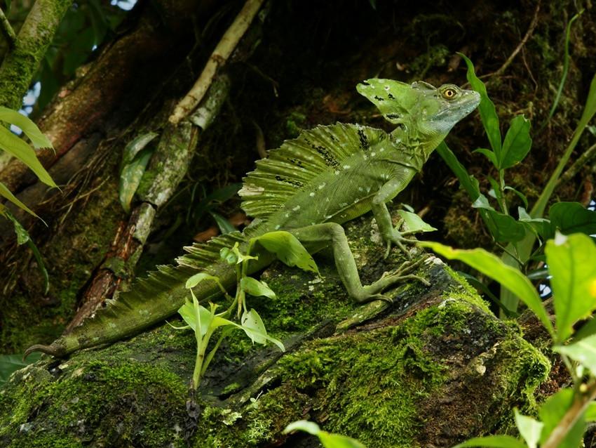 Basiliscus plumifrons, Foto: angolodellamicizia.forumfree.it