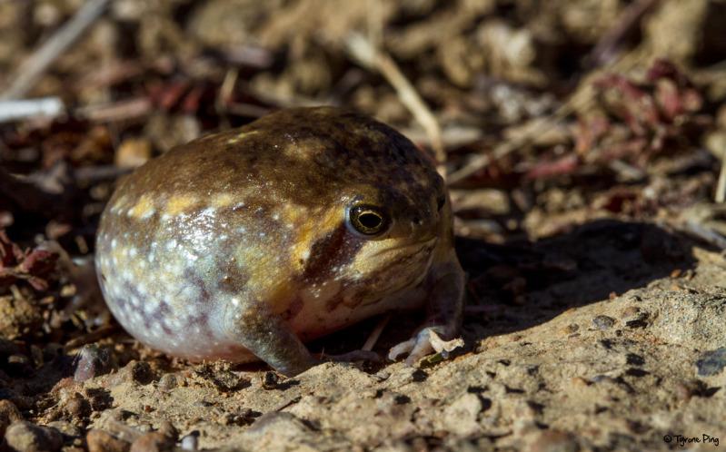 Breviceps adspersus, Foto: fieldherpforum.com