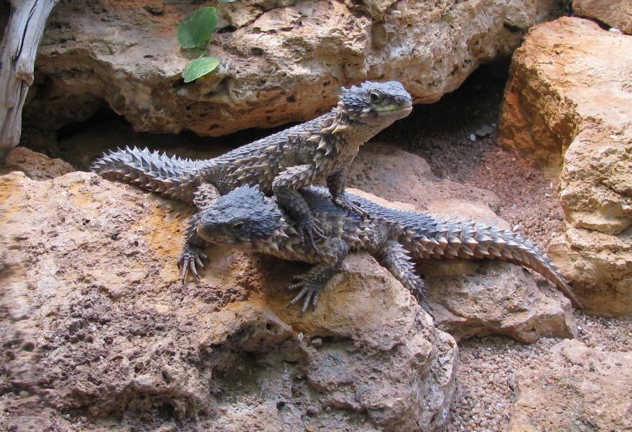 Cordylus giganteus, Foto: dnatecosistemas.es