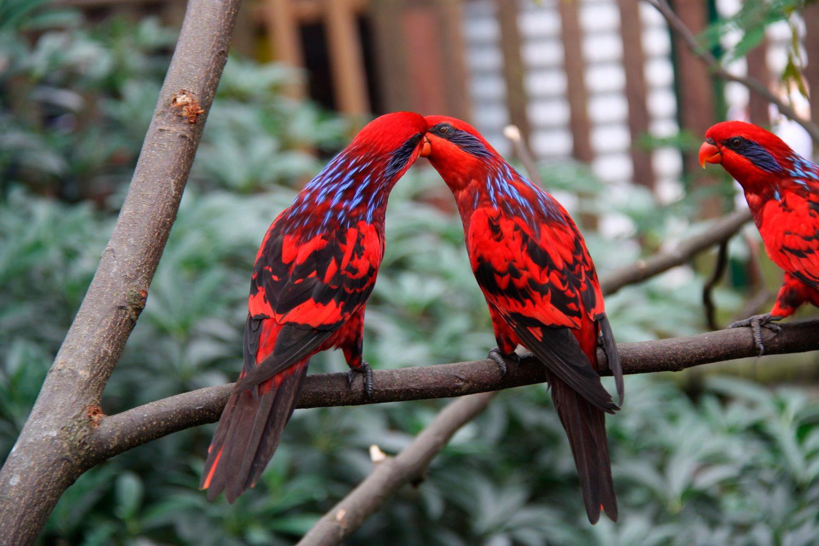 Eos reticulata, Foto: mascotarios.org