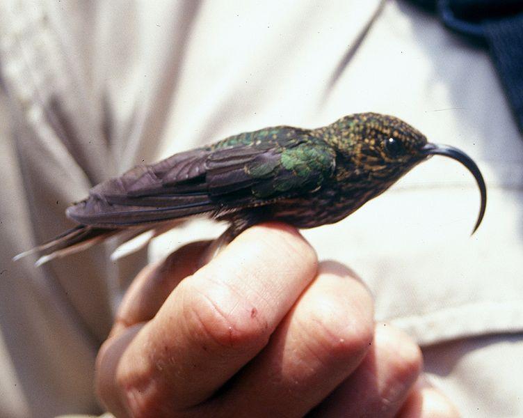 Eutoxeres aquila, Foto: xihuashe.lofter.com