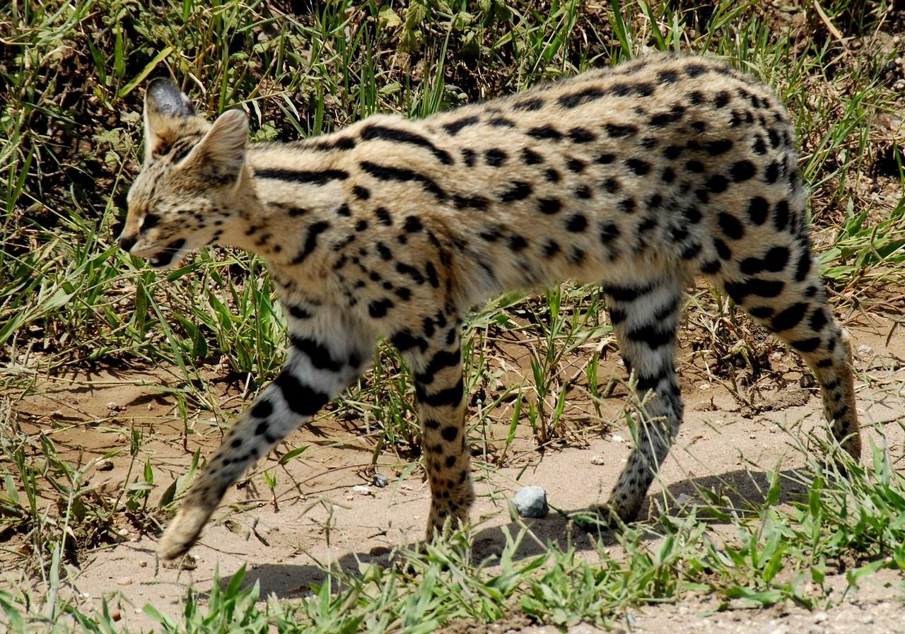 Felis serval, Foto: masterok.livejournal.com
