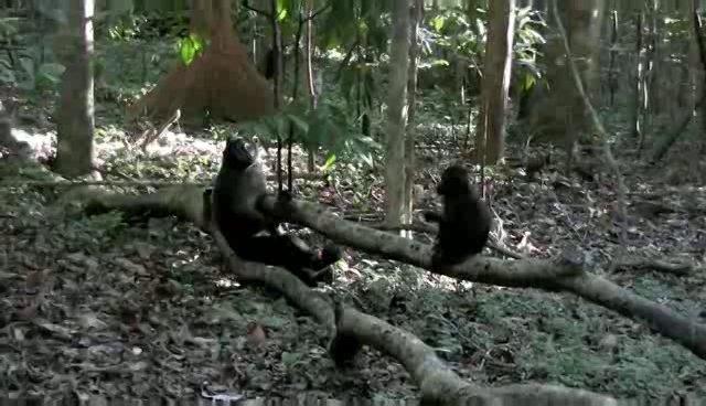 Macacul negru - Macaca nigra