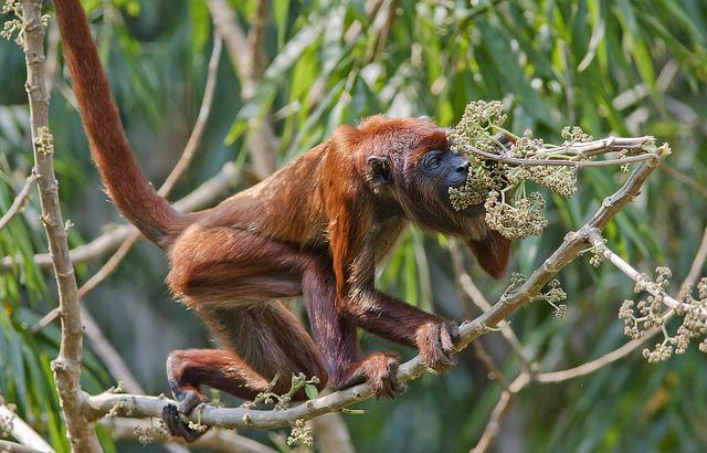 Maimuta urlatoare rosie, Alouatta seniculus