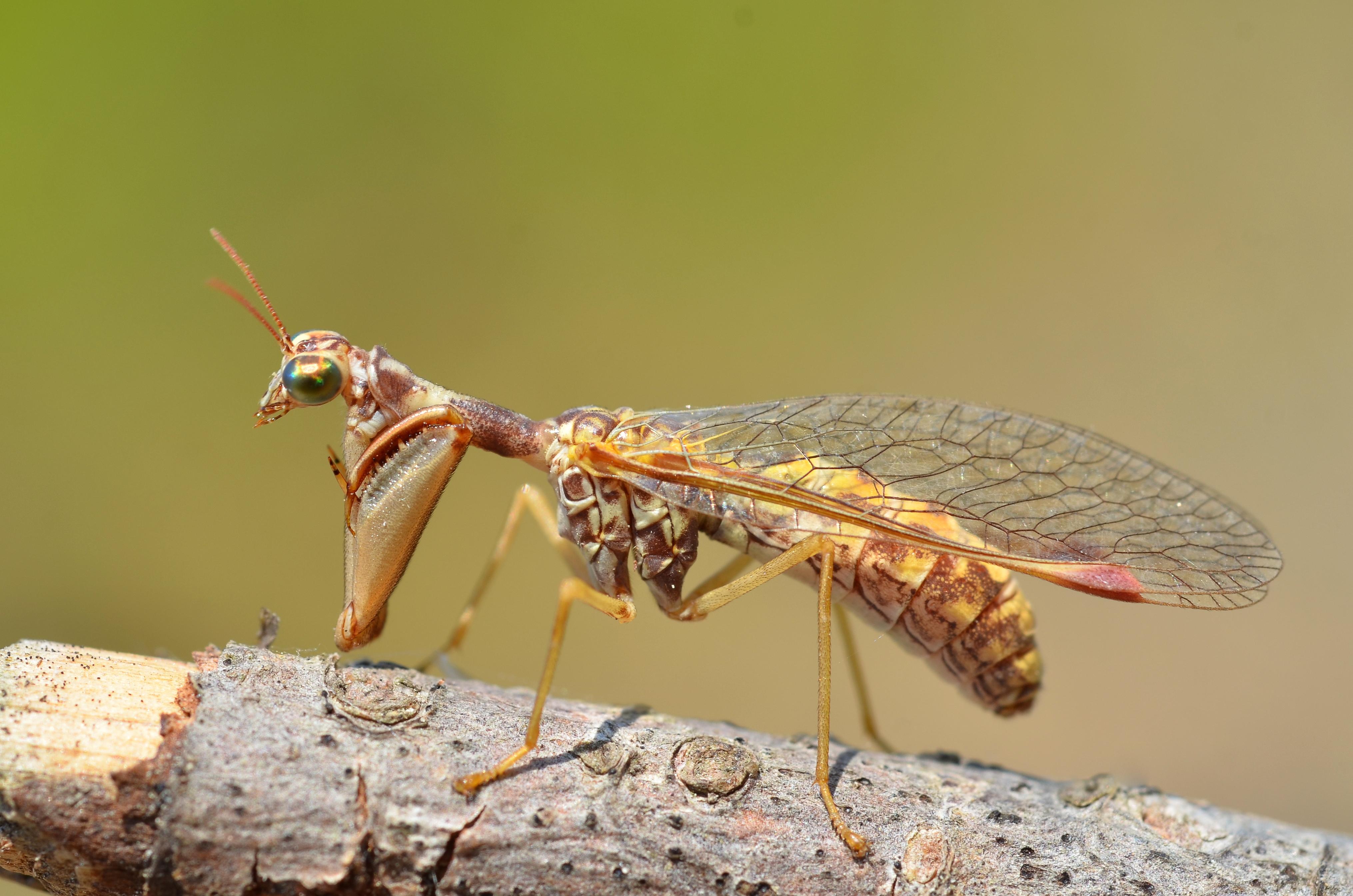 Mantispidae, Foto: gbif.org