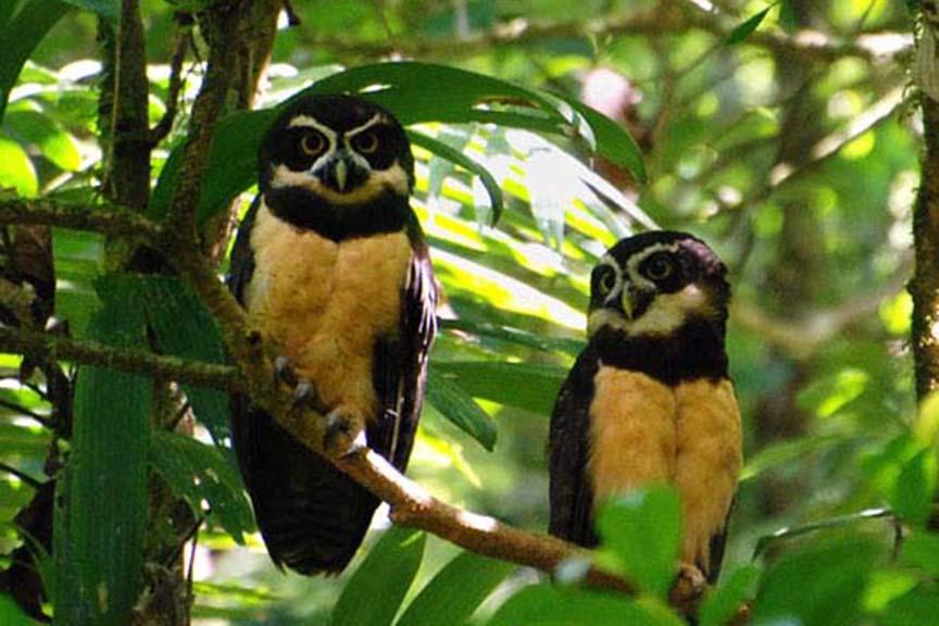 Pulsatrix perspicillata, Foto: animali.net