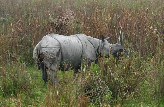 Rinocerul indian - Rhinoceros unicornis