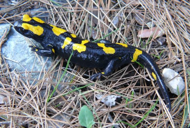 Salamandra de foc (Salamandra salamandra)