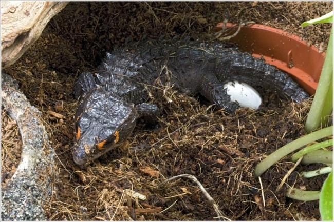Scincida-crocodil (Tribolonotus gracilis), Femela