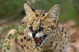 Servalul (Felis serval)