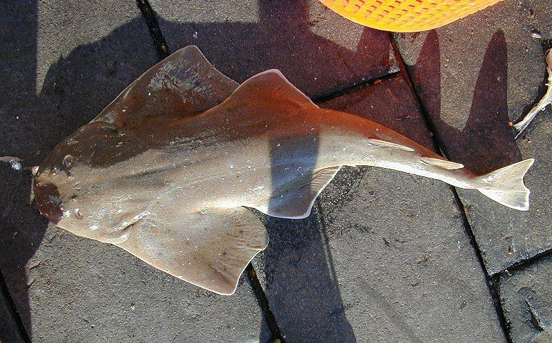 Squatina dumeril, Foto: studyblue.com