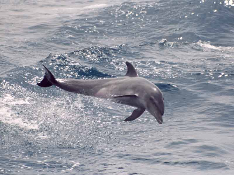 Tursiops truncatus, Foto: marlin.ac.uk