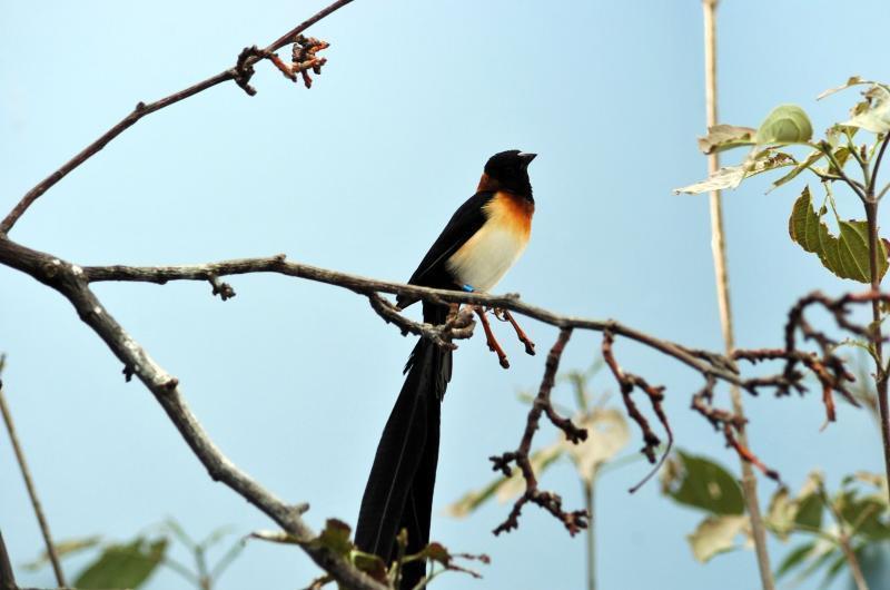 Vidua Paradisaea, Foto: kulucka.net