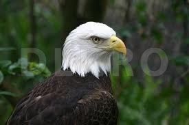 Vulturul cu capul alb - specie pusa in pericol de folosirea DDT-ului