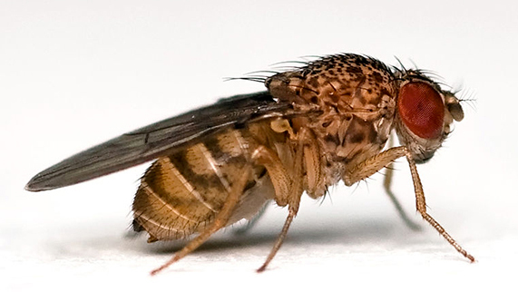 Drosophila Melanogaster, Foto: ade-grumbleweed.blogspot.ro