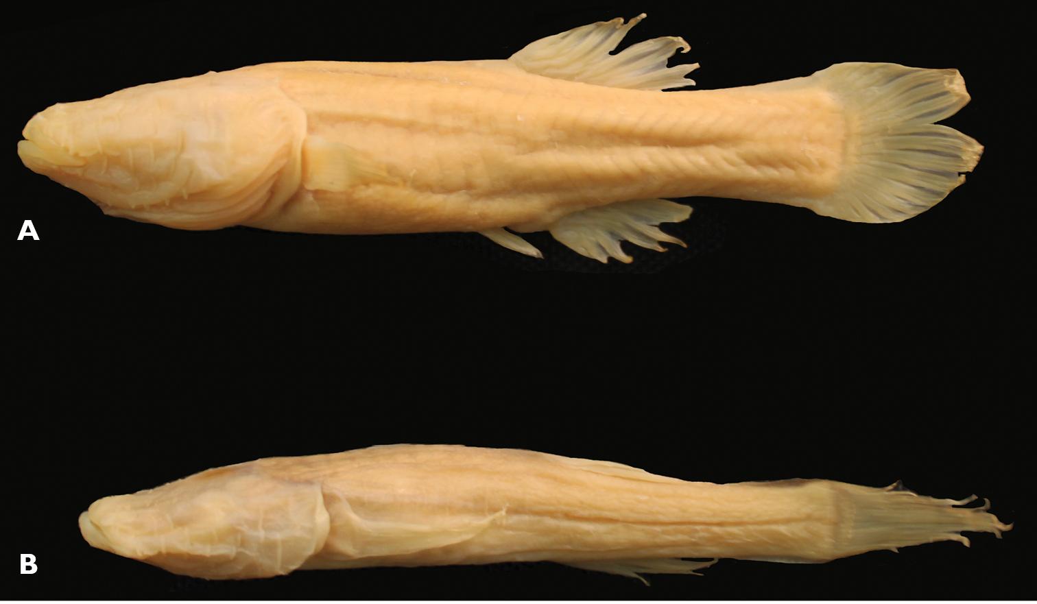 Amblyopsis spelaea, Foto: zookeys.pensoft.net