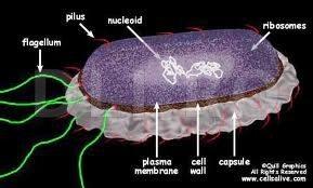 Celula de bacterie