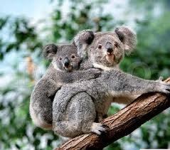 Koala fericiti in Gradina zoologica