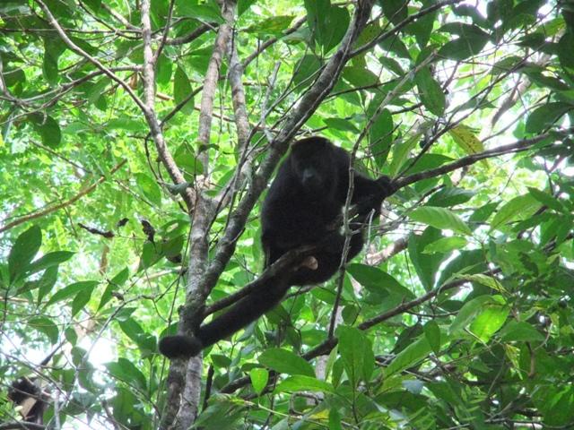 Maimuta urlatoare mexicana (Alouatta pigra)