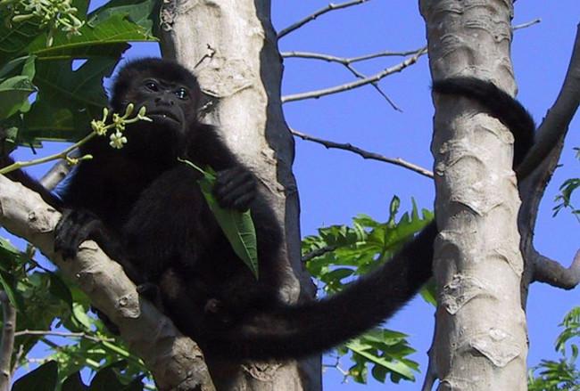 Maimuta urlatoare mexicana, Alouatta pigra