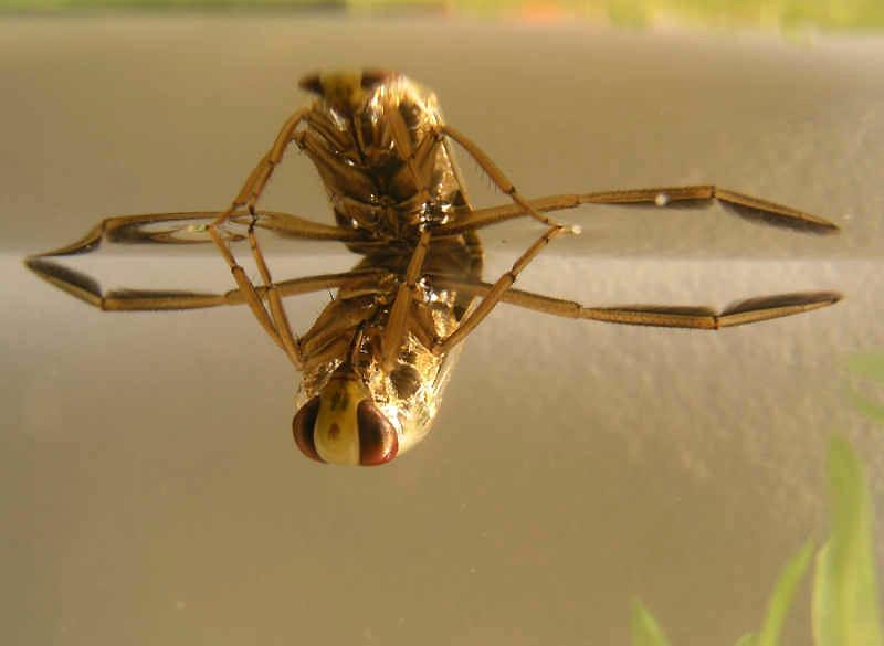 Notonecta Glauca, Foto: whyevolutionistrue.wordpress.com