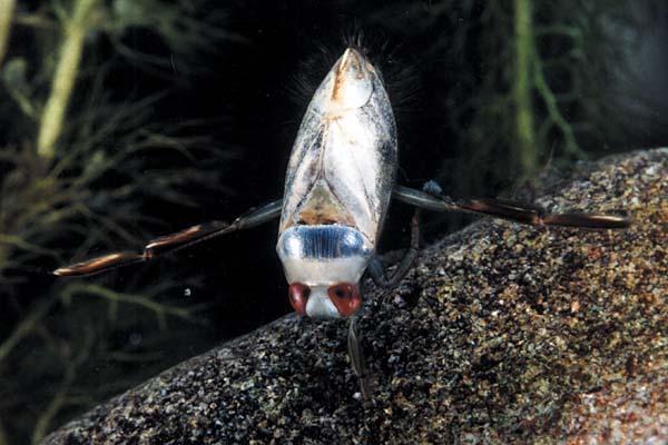 Notonecta Reuteri, Foto: aquaforum.ua
