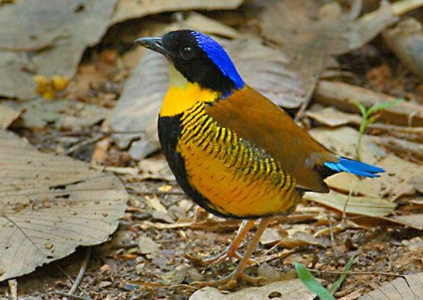 Pitta angolensis, Foto: naturaltopwonders.com