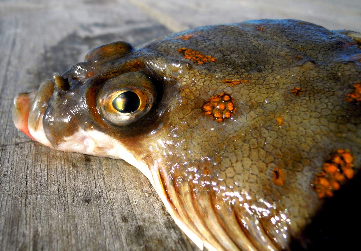 Pleuronectes platessa, Foto: animalreader.ru