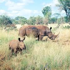 Rinocerul-de-Sumatra-Dicerorhinus-sumatrensis