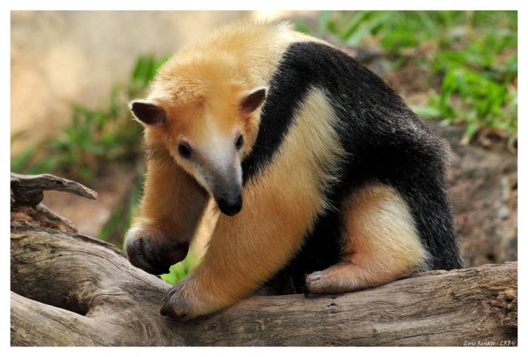 Tamandua tetradactyla, Foto: carnivoraforum.com