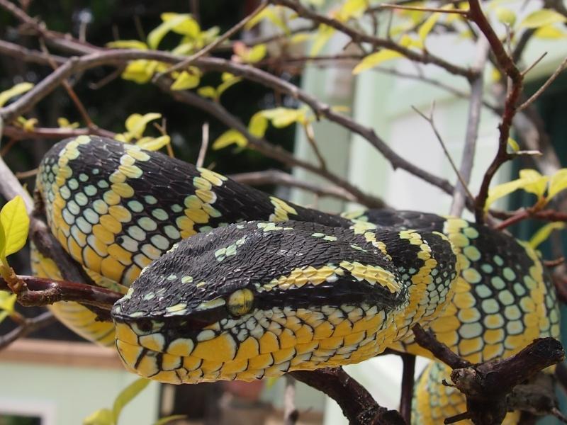 Tropidolaemus wagleri, Foto: venomland.org
