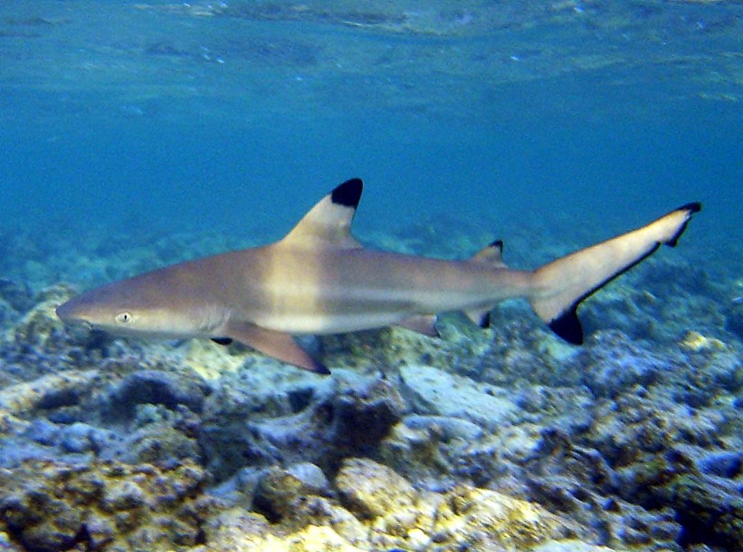 Carcharhinus melanopterus, Foto: divesavannah.com