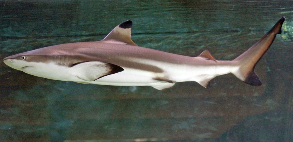 Carcharhinus melanopterus, Foto: ryanphotographic.com